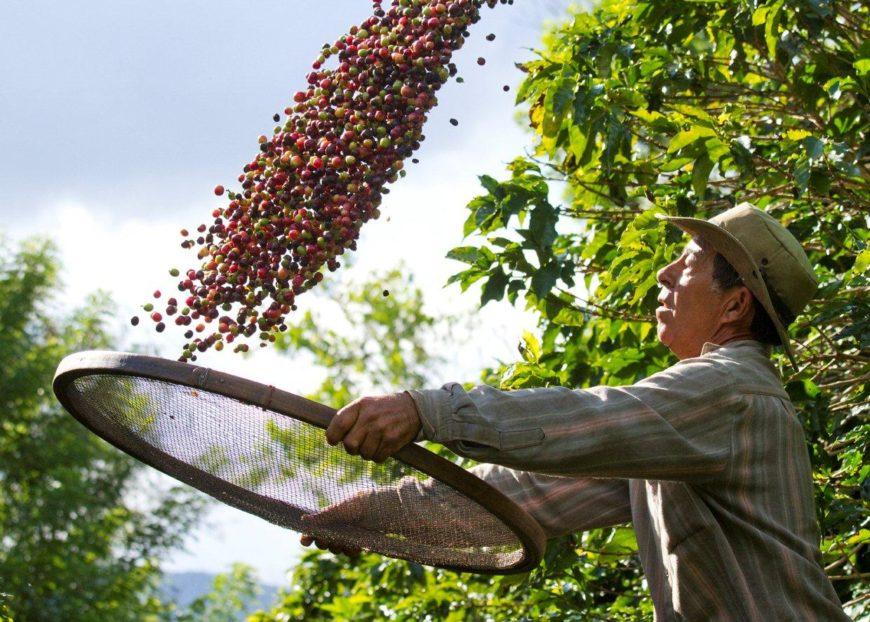cafeicultura-870x622